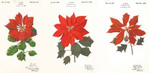 Plant Patent for the Poinsettia